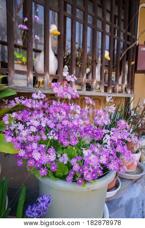 Cute pink magenta flower in the flowerpot in front of traditional japanese house