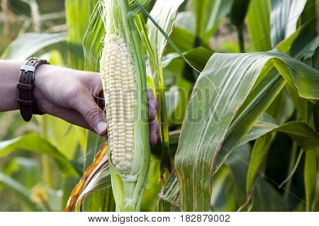 Hands of farmer woman holding fresh green corn in corn field.