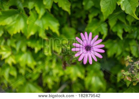 Closed up of pink Gerbera Daisy flower (Gerbera jamesonii) with green leaves with green leaves background