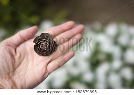 Selective focus of pine cone that look alike rose in woman hand