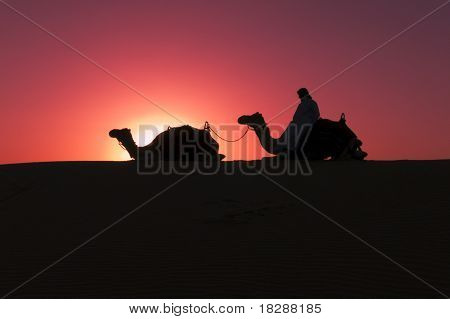 A Camel Driver Rests With His Camels, Dubai, Uae