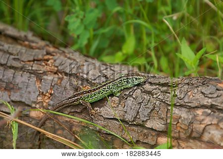 Sand lizard (Lacerta agilis) male in mating colors