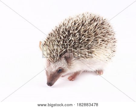 African Pygmy Hedgehogs (Atelerix albiventris) on a white background