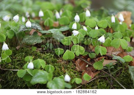 A Blossom Lucky clover in the forest