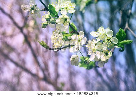 Spring background blossom branch plum May Day selective focus toned