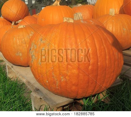 closeup pumpkin sale stand in United States