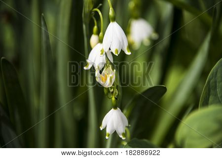 White snow drops flower in early spring with green baclground