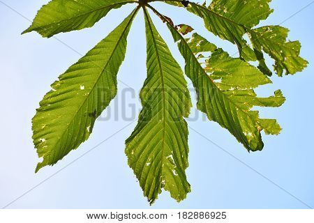 Horse Chestnut Leaves Damaged By Diseases