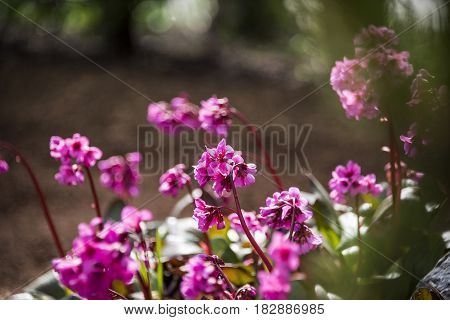 beautiful viola spring flowers and green leaves in the forest