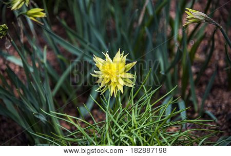 Beautifully yellow pasque flower and sun with a natural green background