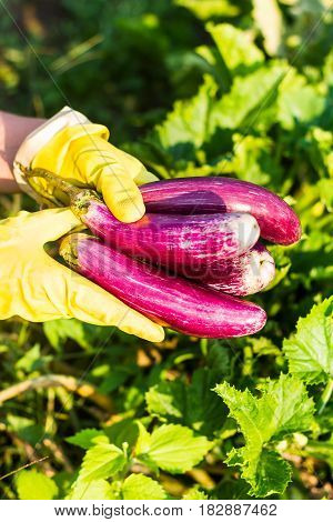 Fresh aubergines or eggplants harvest in hands in protective gloves, selective focus