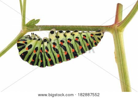 Old World Swallowtail (papilio Machaon) Butterfly, Caterpillar Preparing For Transformation Of The P