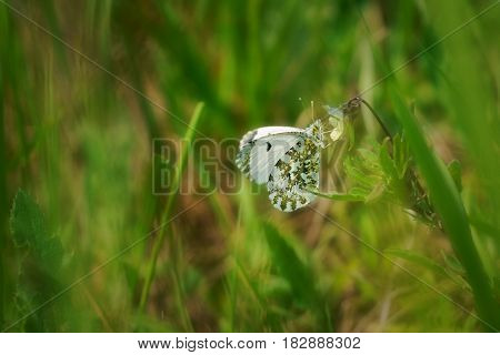 Orange tip (Anthocharis cardamines) female is a butterfly in the family Pieridae