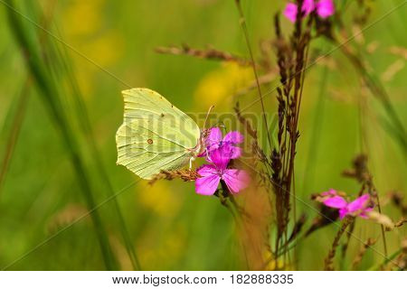Common Brimstone (Gonepteryx rhamni) butterfly drinking nectar from flowers carnation as background