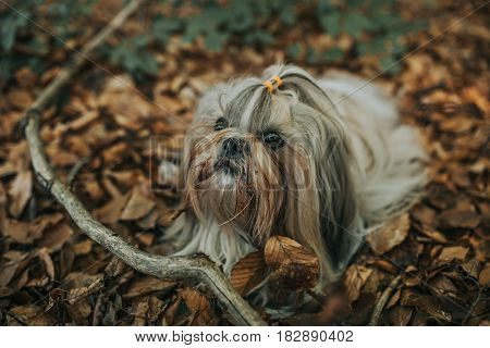 Shih tzu dog lying on autumn foliage. Dark film style colors.