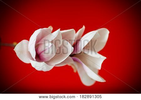 Beautiful pink magnolia flower on red background