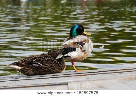 Sleeping mallard duck pair on the dock near a lake. The drake is sleeping while standing on one leg.