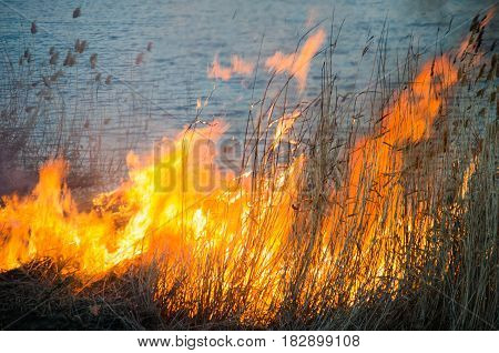 Burning reeds on the shore of the lake in the spring