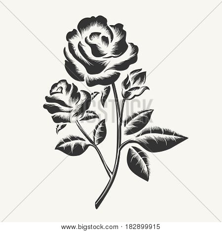 Rose etching. Vector black hand drawn roses engraving isolated on white background poster
