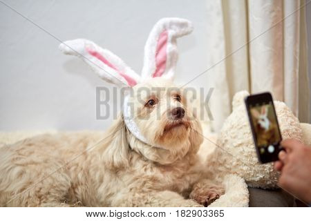 Taking Photo Of Havanese Dog With Easter Bunny Ears
