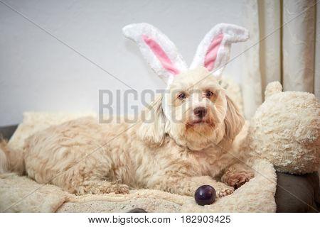 Havanese Dog With Easter Bunny Ears