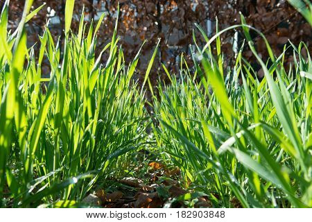 Young green wheat plants growing in soil