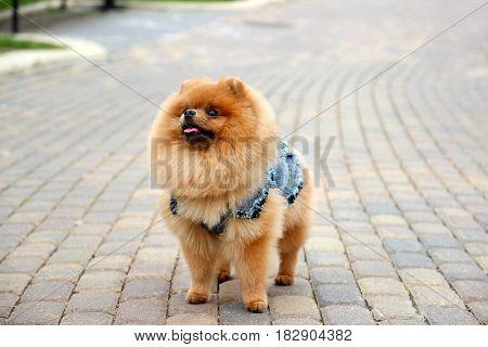 Pomeranian dog in a park. Cute, beautiful dog in a walk