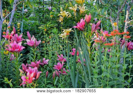 Lily flowers in the garen in Poland on the summer.