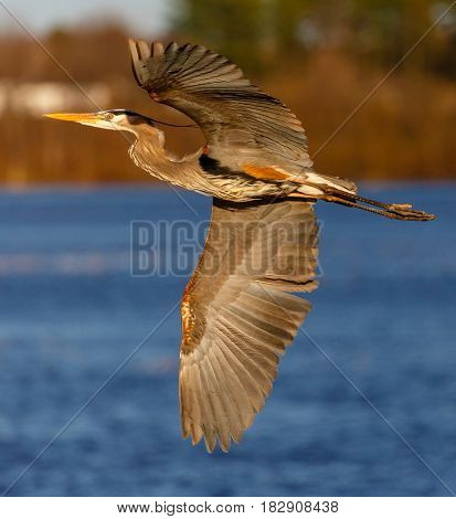 Great Blue Heron (Ardea herodias) flying over a lake in Wisconsin during the nesting season
