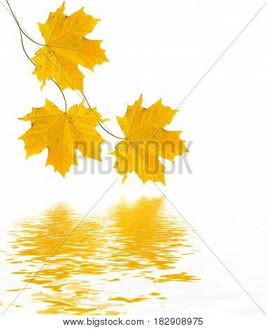 autumn leaves isolated on white background. Golden autumn.