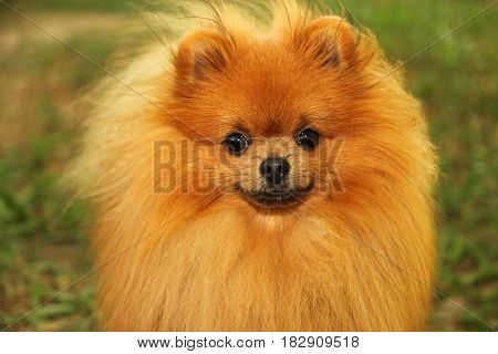 Portrait of cute pomeranian dog. Autumn dog.