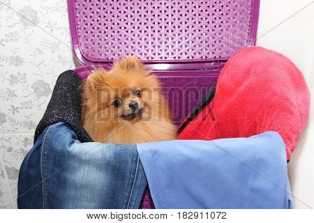 Dog in a purple laundry basket. Pomeranian dog in a basket on white background. Isolated dog and laundry basket