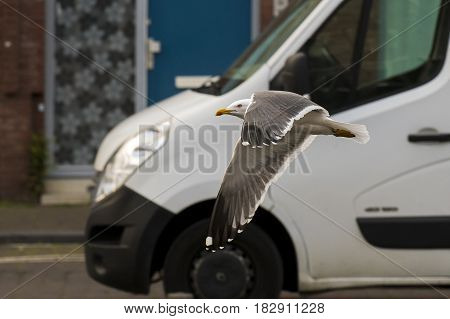 Lesser Black-backed Gull (Larus fuscus) adult in flight above a Town Canal between Houses and in front of a Van