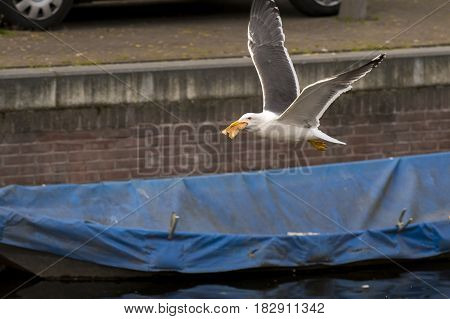 Lesser Black-backed Gull (Larus fuscus) adult in flight above water of a Town Canal eating a piece of Bread