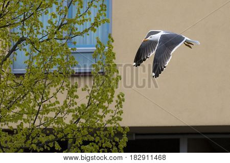 Lesser Black-backed Gull (Larus fuscus) adult in flight above a Town Canal between Houses