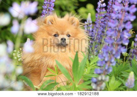 Lovely orange pomeranian dog in the summer flowers on nature background