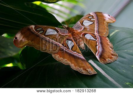 Front View Of  Atlas Moth Resting On Large Green Leaf