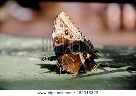 Giant Owl Butterfly On Concrete Surface