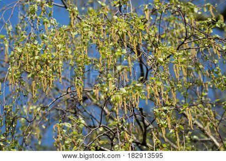 Seasonal allergy - birch tree blossom pollen and buds