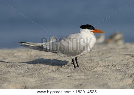 A Royal Tern in breeding plumage on a Florida beach with blue ocean background
