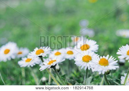 marguerite in spring field closeup