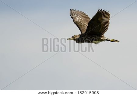 Young Black-Crowned Night-Heron Flying in a Cloudy Blue Sky