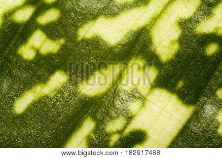 leaf of dieffenbachia closeup abstract natural texture
