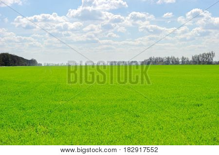 Large green field with fresh wheat germ in a sunny spring day