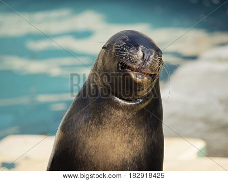 The California Sea Lion (Zalophus californianus) is a species of pinniped mammal