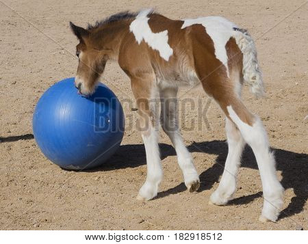 Gypsy Horse colt playing with blue ball