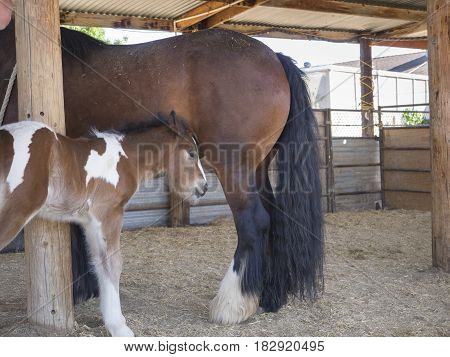 Gypsy Horse Mare and her young colt