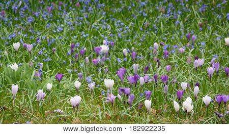 Glade of white and violet crocuses horizontal format