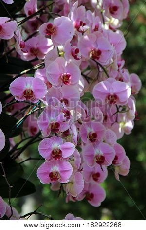 Cascade of gorgeous pink exotic orchids in landscaped garden