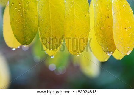 Autmn leaves in green and yellow under rain.